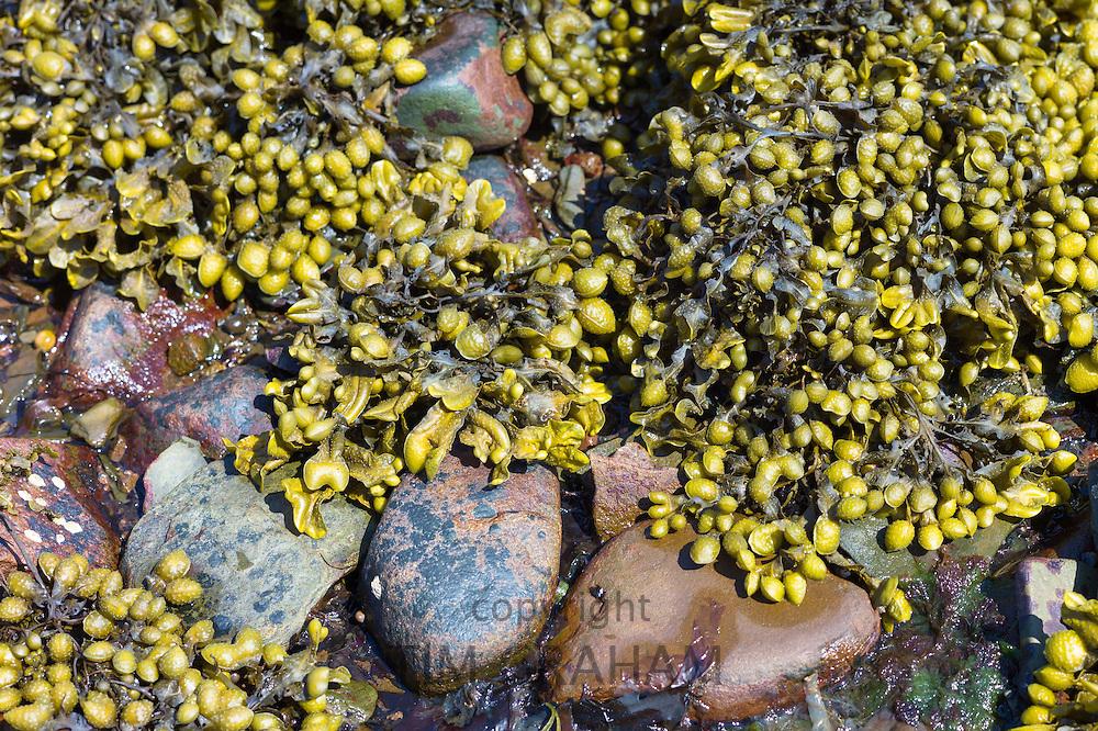 Bladder Wrack seaweed, Fucus vesiculosus, kelp among rocks in shallow sea water of the coastal seashore, West Coast of Scotland