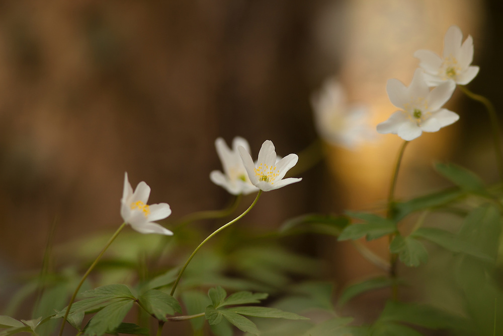 Wood Anemone (Anemone nemorosa), St. Flour L'Etang, Auvergne, France