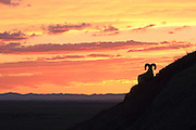 A Bighorn sheep looks out over the Sage Creek Wilderness at sunset in Badlands National Park. While wild sheep populations continue to decline throughout much of their range, Park Service biologists say Bighorn numbers are rising in the Badlands. Scenic View
