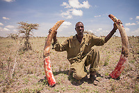 The tusks from a poached elephant in Laikipia. (This man is not a poacher).