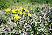 Nederland, Ooijpolder, 23-5-2020 Aan de dijk groeien mooie veldbloemen in deze lente . Foto: Flip Franssen