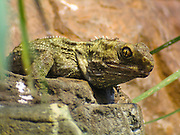 """New Zealand Tuatara (Genus: Sphenodon), Taronga Zoo, Sydney, New South Wales (NSW), Australia. The two species of tuatara are the only surviving members of its order Sphenodontia, which flourished around 200 million years ago. Although sometimes called """"living fossils,"""" they have changed significantly since the Mesozoic era. Tuatara share a common ancestor with the squamates (lizards and snakes) and are of great interest in the study of the evolution of lizards, snakes, and diapsids (dinosaurs, birds, and crocodiles). Tuatara are greenish brown, and measure up to 80 cm (31 in) from head to tail-tip and weigh up to 1.3 kilograms (2.9 lb) with a spiny crest along the back, especially pronounced in males. Their dentition, in which two rows of teeth in the upper jaw overlap one row on the lower jaw, is unique among living species. They have an unusual photo-receptive """"third eye,"""" can hear without an external ear, and have skeletal features apparently evolved from fish. Tuatara, like many of New Zealand's native animals, are threatened by habitat loss and introduced predators like the Polynesian Rat."""