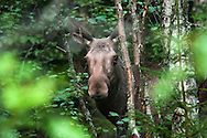 Angra, Hälsingland, Central Sweden, August 2013. A moose in the forest during a moose safari. Camp Angra is a wilderness camping near Karbola owned by the Dutch Hassoldt family. Marco specialises as a wilderness guide and the camping offers Fishing and Flyfishing, Wildlifewatching, birding, outdoor fun, hiking, biking and canoeing, while Sonja runs the camping. The extensive forests dotted with hundreds of lakes of a spectacular landscape for wilderness camping. hike through the forests picking berries and collecting mushrooms, see moose and track bears and wolves. Navigate the lakes in a canoe and catch trout and salmon with a fly rod and see beavers.  Gavleborg and Dalarna regions are bursting with adventure. Photo by Frits Meyst/Adventure4ever.com