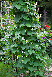 Runner bean 'White Lady' - Phaseolus coccineus 'White Lady' growing up a tripod