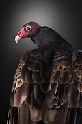 Turkey Vulture (Catharses aura). Handsome was found in Louisville, Kentucky, and is now a resident educational raptor.