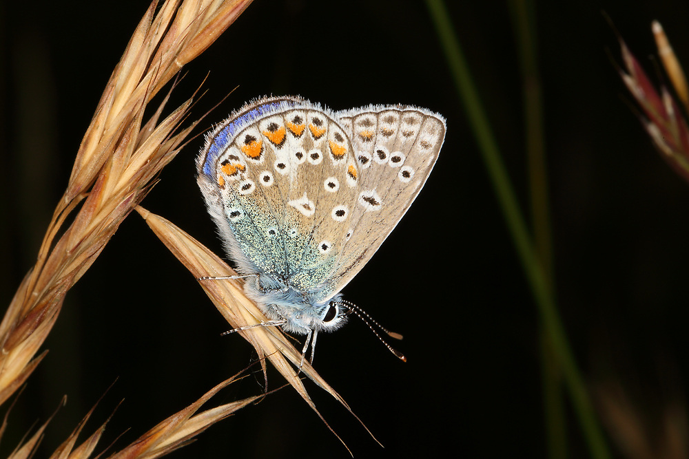 A Common Blue butterfly, photographed at Martin Down in Hampshire, UK in the summer of 2018.