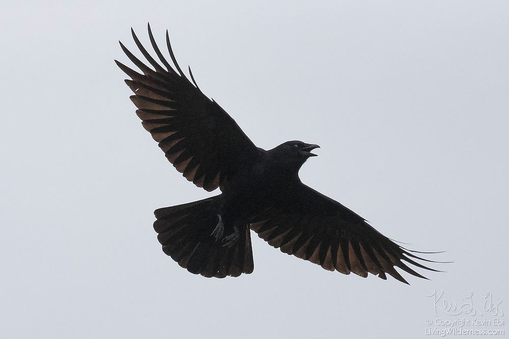 A black American crow (Corvus brachyrhynchos), wings outstretched, flies against a gray sky over Edmonds, Washington.