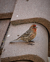 House Finch. Marriott Residence Inn, Boulder, Colorado. Image taken with a Nikon D200 camera and 18-200 mm lens.