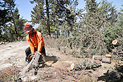 Foresters working in a pine forest, cutting down trees to to thin out the forest to reduce fire hazard Photographed in Israel