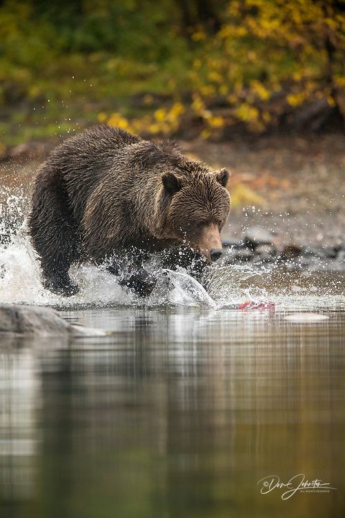 Grizzly bear (Ursus arctos)- Solitary bear attacking sockeye salmon spawning in the Chilko River, Chilcotin Wilderness, BC Interior, Canada