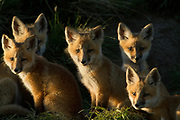 Read Fox Kits in central Montana.