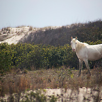 USA, Georgia, Cumberland Island. A white feral horse roams dunes of  Cumberland Island.