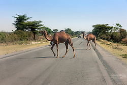 View of camels crossing road