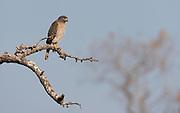 Roadside Hawk, (Buteo magnirostris), from Araras, Pantanal, Brazil.