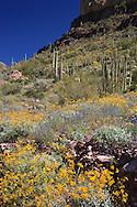 Organ Pipe Cactus (Stenocereus thurberi), brittlebush (Encelia farinosa), Ocotillo (Fouquieria splendens), and Lupine (Lupinus sparsiflorus) in springtime, Organ Pipe Cactus National Monument, Arizona, USA