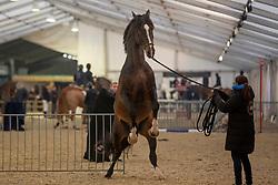 Philippaerts Nicola, BEL, Chilli Willi<br /> Jumping Mechelen 2018<br /> © Hippo Foto - Sharon Vandeput<br /> 27/12/18