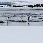 Trumpeter swans on the Yellowstone River in the Hayden Valley in winter.