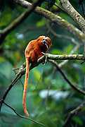 Besides different plant parts and insects Golden Lion Tamarins occasionally feed on frogs. | Neben pflanzlicher Nahrung und Insekten fressen Löwenäffchen gelegentlich auch Frösche.