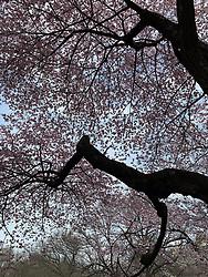 Blooming trees in Spring