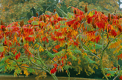 Rhus typhina - Stag's horn sumach at Waterperry gardens, Oxford