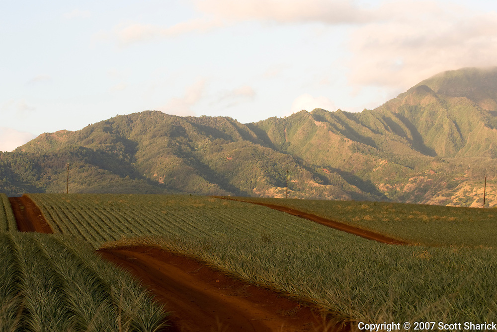 One of the last pineaaple fields in Hawaii on the island of Oahu.