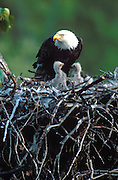 A bald eagle watches over the eaglets in its nest high in a cottonwood tree.