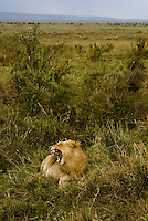 A roaring juvenile male lion in the Masai Mara National Park, Kenya