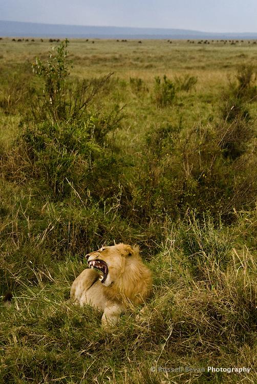 A roaring juvenile male lion in the Masai Mara National Park, Kenya