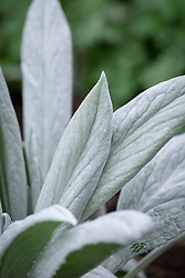Senecio niveoaureus. Also sold as Stachys 'Bello Grigio'