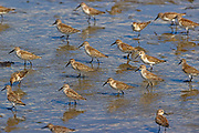 A flock of western sandpipers (Calidris mauri) feed in the mudflats exposed at low tide in Port Gardner in Everett, Washington.