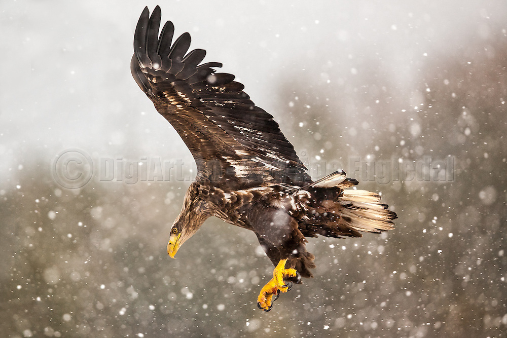Havørn | White-tailed Eagle