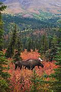A bull moose (Alces alces gigas) in the colorful foliage of autumn in Alaska, Denali National Park, Alaska