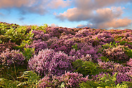 Heather flowering.  North Yorks National Park, North Yorkshire, England .<br /> <br /> Visit our ENGLAND PHOTO COLLECTIONS for more photos to download or buy as wall art prints https://funkystock.photoshelter.com/gallery-collection/Pictures-Images-of-England-Photos-of-English-Historic-Landmark-Sites/C0000SnAAiGINuEQ