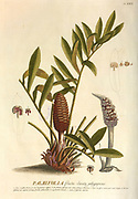 Coloured Copperplate engraving of Setaria palmifolia from hortus nitidissimus by Christoph Jakob Trew (Nuremberg 1750-1792)