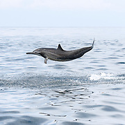 Spinner dolphin (Stenella longirostris) launching itself out of the water.