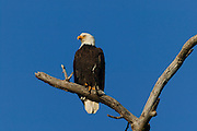 An bald eagle (Haliaeetus leucocephalus) is perched on a tree overlooking its nest in Puyallup, Washington.