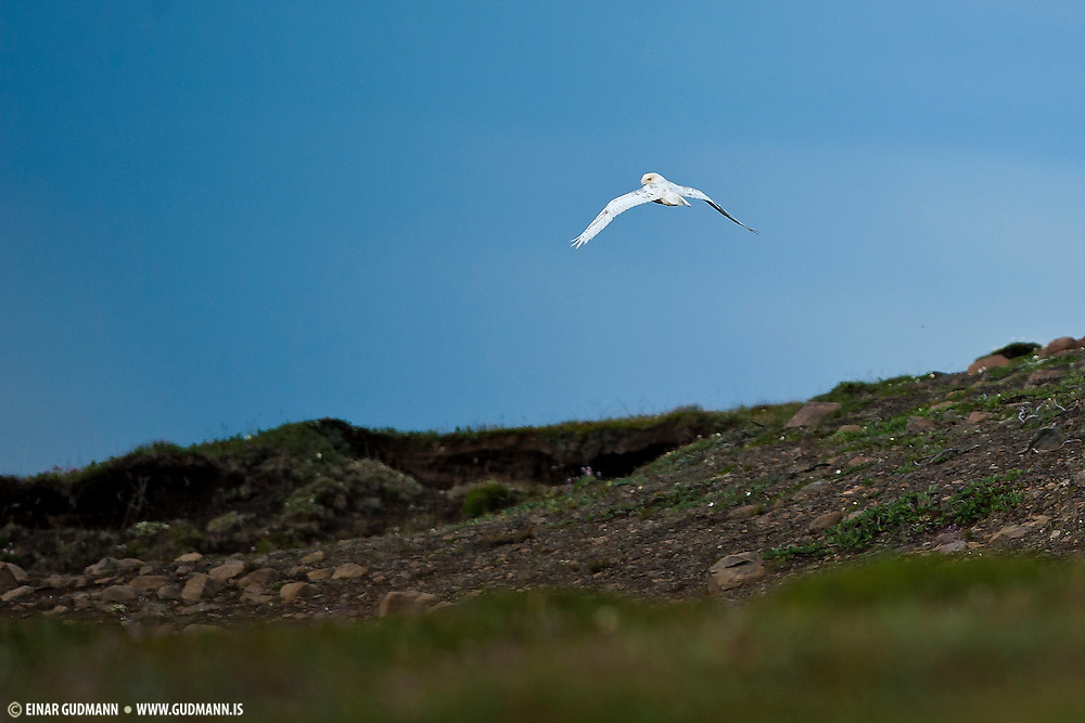 The snowy owl is very rare in Iceland. Probably less than 5 pairs in the whole country.