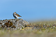 The Dunlin, Calidris alpina, is a small wader. It is highly gregarious in winter, sometimes forming large flocks on coastal mudflats or sandy beaches.
