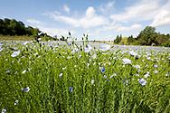 Flax growing near Saint-Omer, Pas-de-Calais, France © Rudolf Abraham