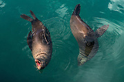 Cape fur seal (Arctocephalus pusillus)<br /> Hout Bay harbor<br /> Western Cape<br /> SOUTH AFRICA<br /> RANGE: Southern and southwestern coast of Africa from Cape Cross in Namibia to Cape of Good Hope to Black Rocks near Port Elizabeth.