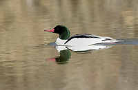 Common Merganser (Mergus merganser) male swimming at Inglewood Bird Sanctuary, Calgary, Alberta, Canada