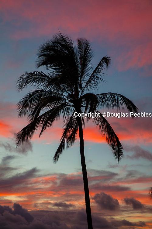 Coconut Palm Tree, Sunset, Kaneohe Bay, Oahu, Hawaii