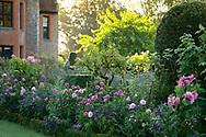 Pink Dahlias and Heliotropium arborescens in a border at Chenies Manor House, Chenies, Rickmansworth, Buckinghamshire, UK