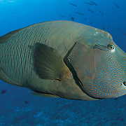 Napoleon wrasse (Cheilinus undulatus) patrolling the reef at Palau's renowned dive site Blue Corner
