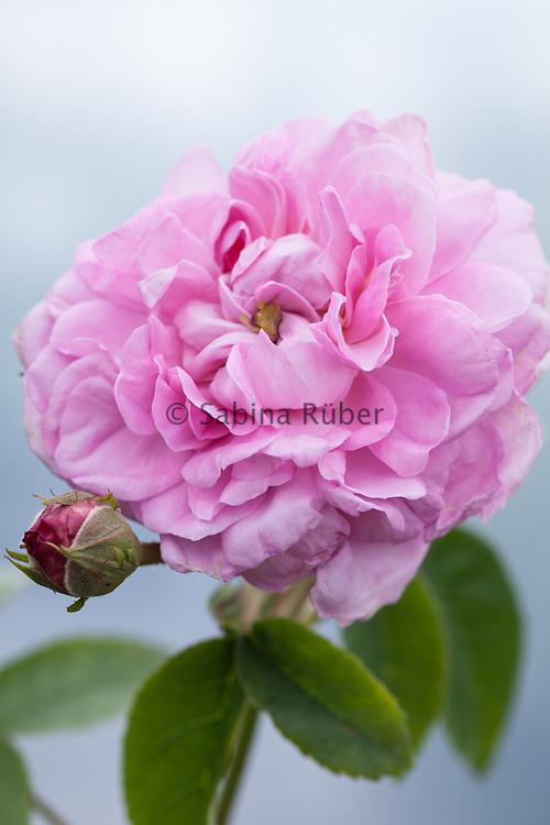 Rosa 'Ispahan' - damask rose
