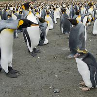 A King Penguin investigates a wayward Macaroni Penguin in a rookery at Gold Harbor, South Georgia, Antarctica.