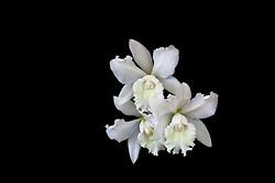 Cattleya, white #10