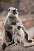 Indian Langur female monkey, Presbytis entellus, with juvenile in Ranthambhore National Park, Rajasthan, Northern India