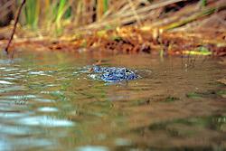 Alligator Swimming On Surface