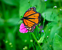 Monarch butterfly on a Zinnia Flower. Image taken with a Fuji X-H1 camera and 80 mm f/2.8 macro lens + 1.4x teleconverter